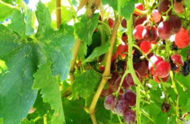 GRAPES, WINE COUNTRY, VALLE GUADALUPE, BAJA