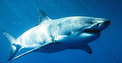 WHITE SHARK near GUADALUPE Island